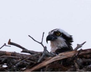 osprey-do