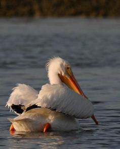 white-pelican-do