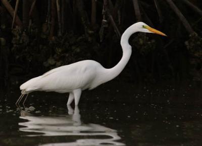 great-egret-do
